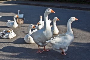 A Yorkshire gaggle of geese...