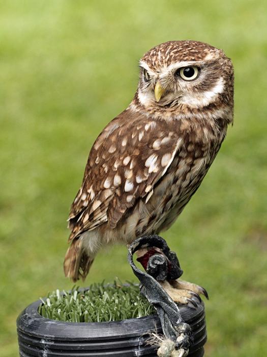 Little Owl (How I wished he was Pigwidgeon!)